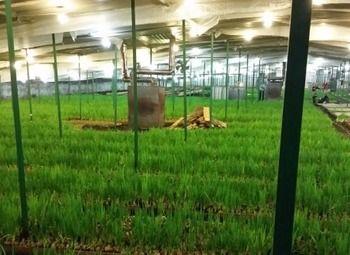 высокодоходная теплица для выращивания зеленого лука