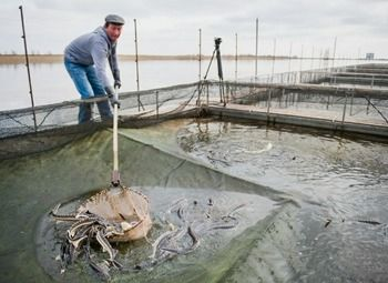 Рыбоводческое хозяйство в Калининградской обл