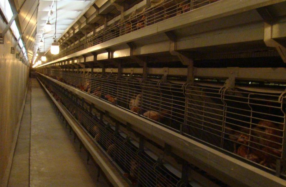 Доля в крупной птицефабрике
